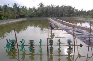 Many rice farmers are switching to saltwater shrimp as a crop, to eliminate risk from salinization. Paddles aerate a shrimp pond, adding oxygen to the water. (Photo: Christopher Johnson)