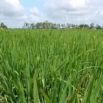mekong rice